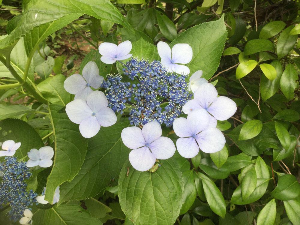 紫陽花を刺繍する